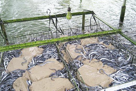 STEP02 養鰻業務 duties